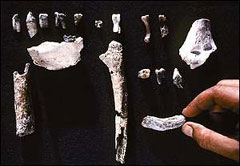Hominid fossils belonging to Ardipithecus ramidus kadabba, found in 1997-1999.